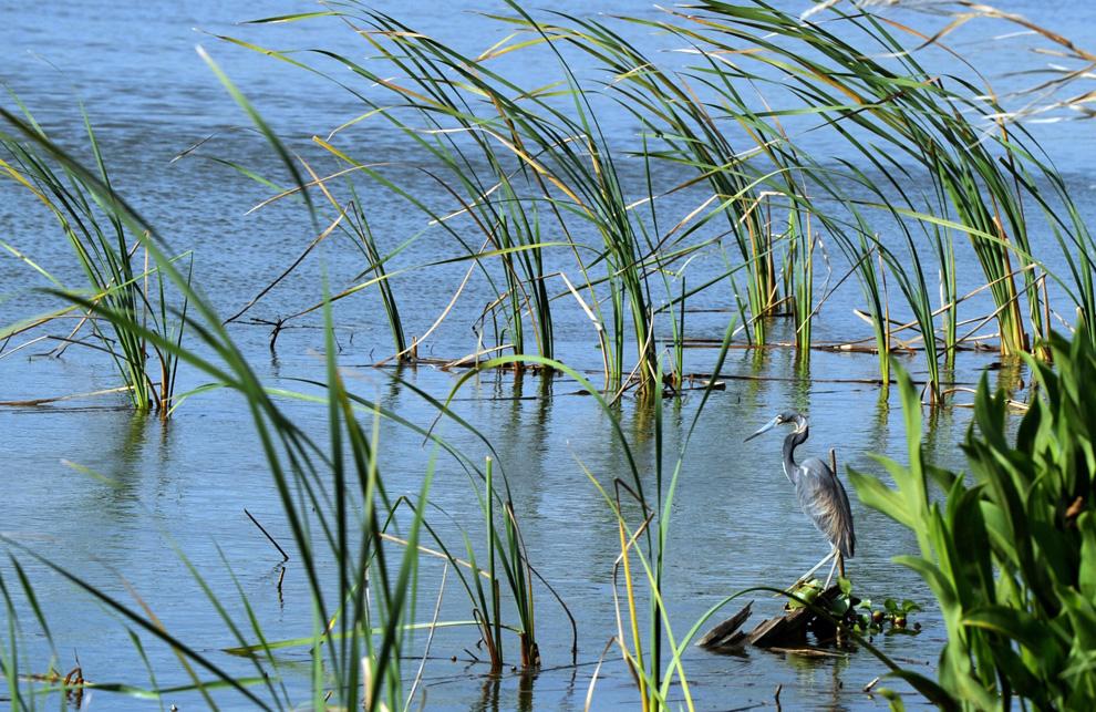 Луизианская цапля отдыхает в болотистых водах недалеко от города Венеция, штат Луизиана.